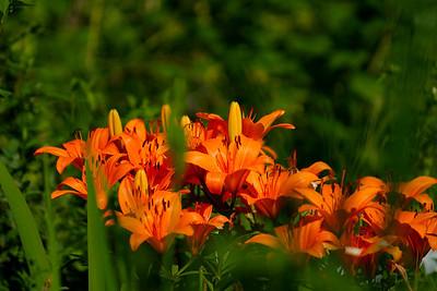 Koivuniementien kukat