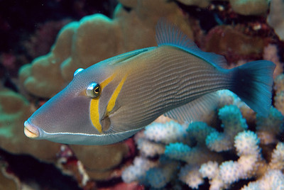 Whiteline triggerfish
