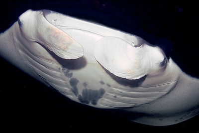 One of the mantas seen on the night manta dive.