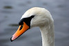 My friendly female mute swan at Culzean