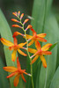 Crocosmia, grows everywhere up here.