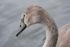 One of the four cygnets born in early 2013 at Culzean. In 2012 the resident pair of swans had eight cygnets.