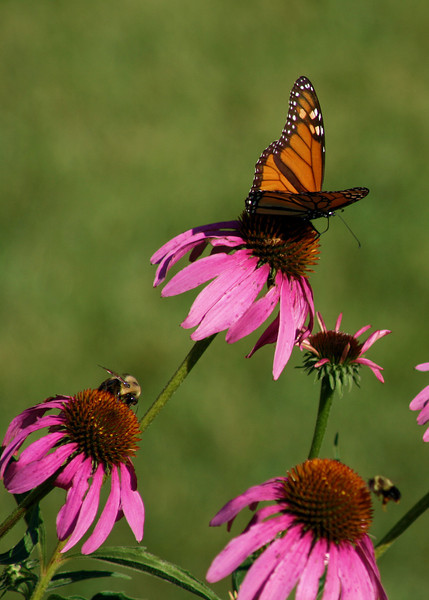 A monarch butterfly and a couple of bees