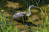 The heron is getting closer to the bank now.<br> <b>Thanks to the Middlebury Parks Department employee that lead me to this heron!</b><br>