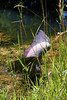The heron starts flapping its wings seemingly to get up into the brush and weeds in the bank (or maybe to warn me to stay back?).<br> <b>Thanks to the Middlebury Parks Department employee that lead me to this heron!</b><br>