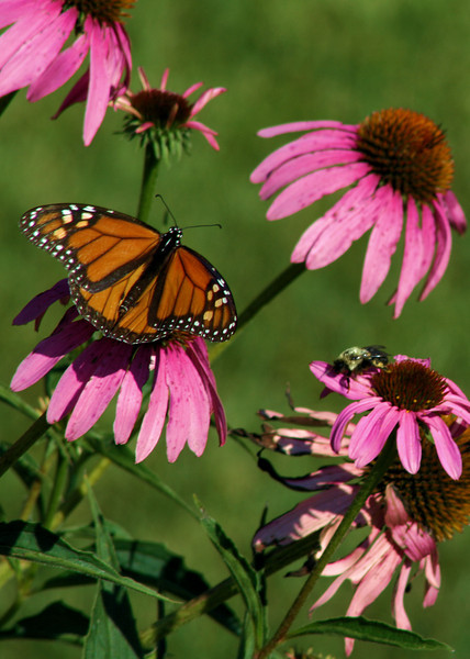A monarch butterfly and a bee