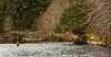 Steve Hohf at Horizontal Log -- Site for 2nd Steelehad Hookup, Day #3, Kadake Creek, Kuiu Island, Alaska April 2013