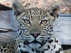 Young male leopard looks right into the camera.