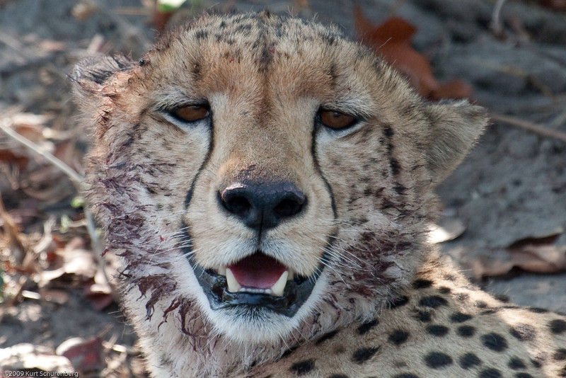 Cheetah - portrait of a sloppy eater.