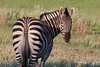 Burchell's zebra shows his southern end