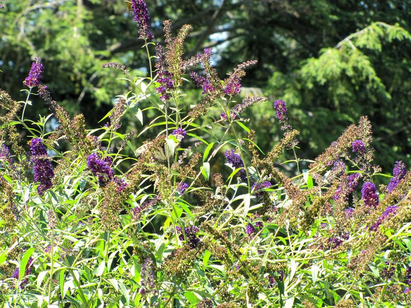 butterfly bush...with butterflies