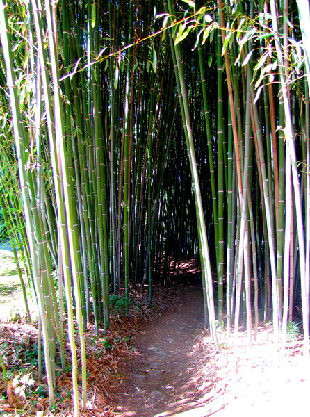the path to the teahouse takes you through a thick grove of bamboo....