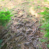 tree roots in the path