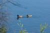 LAKE MURRAY ... MALLARD couple...
