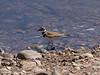 KILDEER at Lake Murray