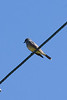 CASSIN's KINGBIRD ~ Lake Murray ~ Spring 2009