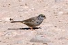 Golden-crowned Sparrow, molting  ~ Lake Murray ~ Spring 2009