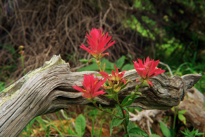 Indian Paintbrush-109