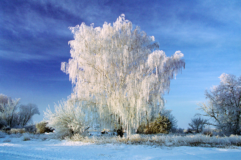 #20 Frosted Tree<br /> -15 degrees F left all the trees frosted in 2000 between Worden and Pompeys Pillar Montana.