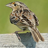 Grasshopper Sparrow ( Ammodramus savannarum )