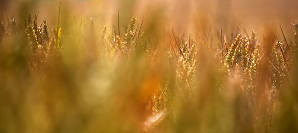 Wheatfield abstract