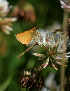 Brown Skipper