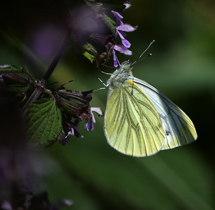 A black veined white butterfly
