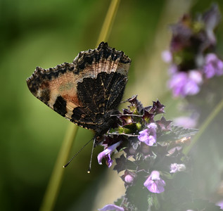 The underside of a small tortoiseshell butterfly