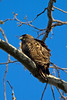 RED-TAILED HAWK ... perched on a Sycamore branch ... Rancho Penasquitos Preserve Canyon