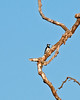 ACORN WOODPECKER ~ Penasquitos Preserve ~ Sept 2009