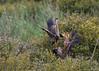 Purple Heron (Ardea purpurea) - purperreiger - Brenne France