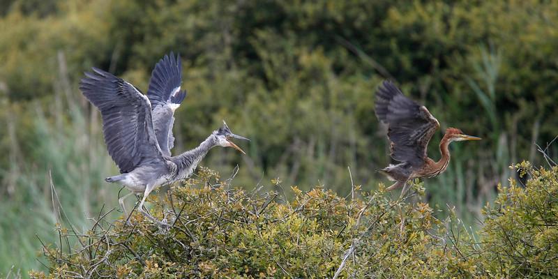Young grey heron (Ardea cinerea) chasing a young purple heron (Ardea purpurea) away - Brenne France