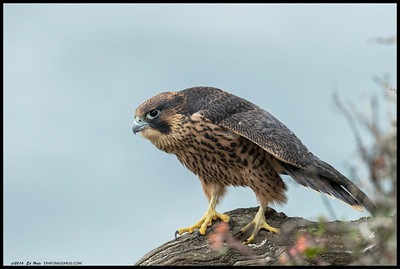 One of the fledgling Peregrines stretching out a bit.
