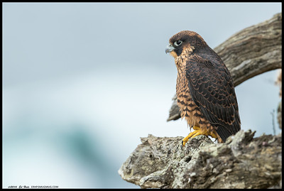 Fledgling Peregrine Falcon enjoying the view.