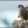 Fledgling Peregrine Falcon enjoying the view.