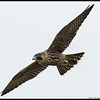 The sun was trying to peek through the clouds as this juvenile Peregrine flew by me.