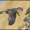 Peregrine juvenile reacting to dad bringing in prey to the nesting site.