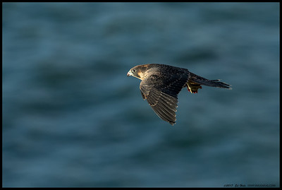 Dining and dashing, this juvenile Peregrine Falcon decided to find a quieter table for some cliff side dining.
