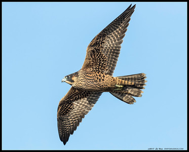 One of the juvenile Peregrine's flying by looking for the sibling that grabbed the food.