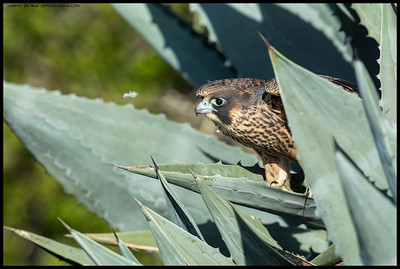 The floating feather sure had this Peregrine's attention.  First time I've seen them play in the aloe plants.