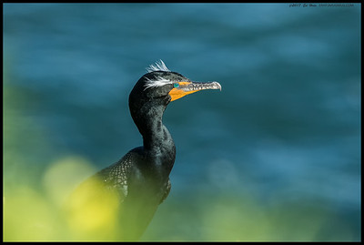 One of the Double Crested Cormorants behind the wildflowers along the cliffs.