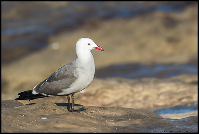Heermann's Gull waiting patiently on the cliffs of the cove.