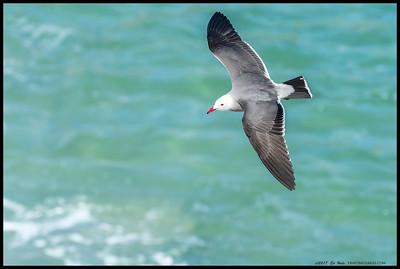 Heermann's Gull in flight above the waters o la Jolla Cove.