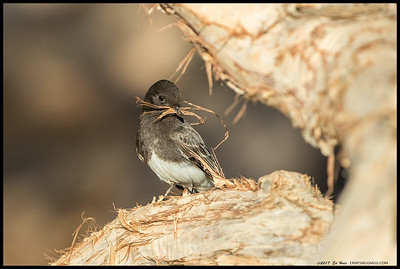 Black Phoebe gathering nesting material in the form of bark from the trees.