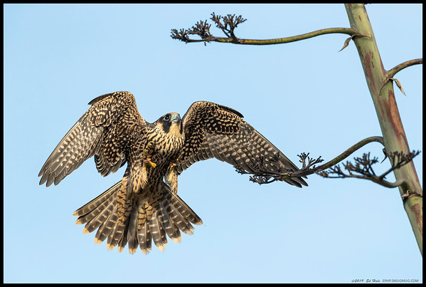 One of the juvenile Peregrine Falcons on final approach before deciding that branch just wasn't going to work.