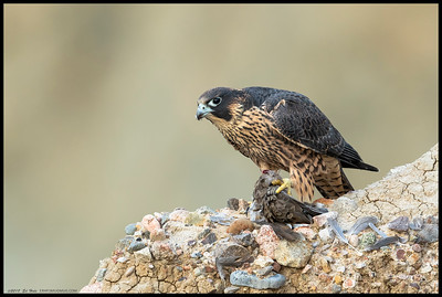 A juvenile Peregrine Falcon settling down to finish a previously interrupted meal of Ground Dove.