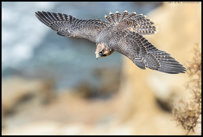 A juvenile Peregrine Falcon taking off with the full spread of feathers.