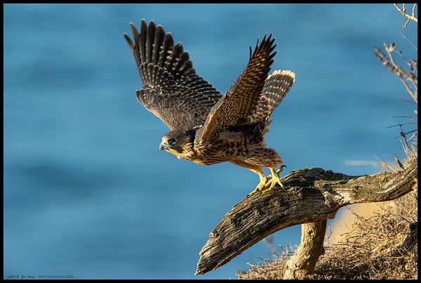 A juvenile Peregrine Falcon in the process of taking off after a nap and some preening.