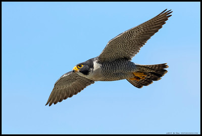 The male Peregrine Falcon of the La Jolla pair as he soared along the cliffs.