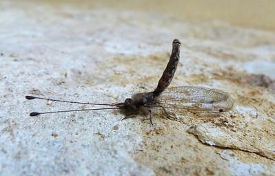 P106OwlflyUlulodesMacleayanus205 Sept. 29, 2011  8:28 a.m.  P1060205 Owlfly, Ululodes macleayanus, at LBJ WC.